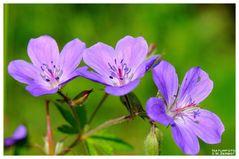 - Wiesen-Storchenschnabel ( Geranium pratense )