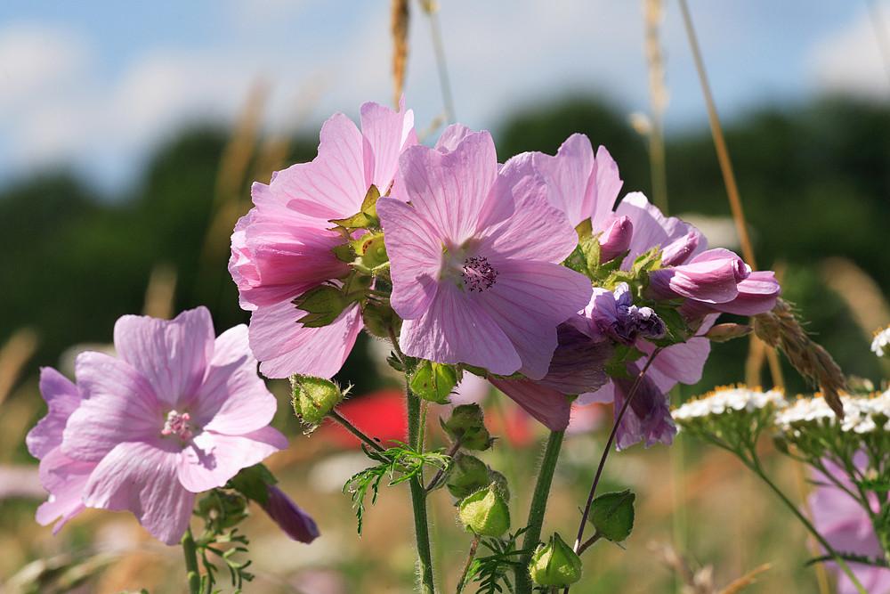 Wiesenblume - 2 -