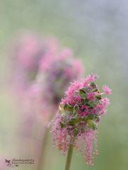 Wiesenblume 4