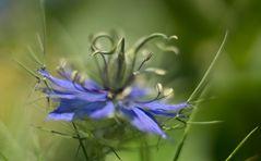 Wiesenblume I