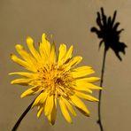 Wiesenblume mit Schatten