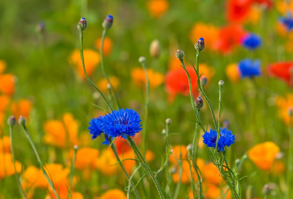Wiesenblumen