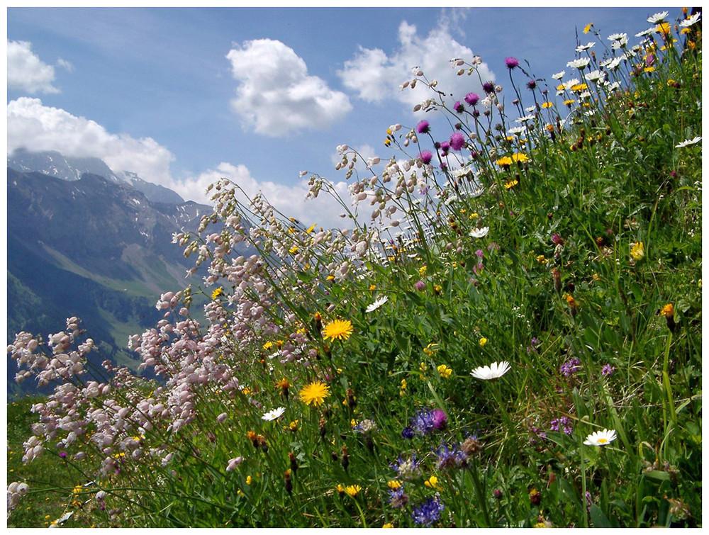 Wiesenblumen foto bild pflanzen pilze flechten for Bilder pflanzen