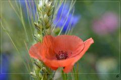 Wiesenblumenfeld 3