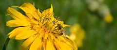 Wiesenbocksbart mit Biene
