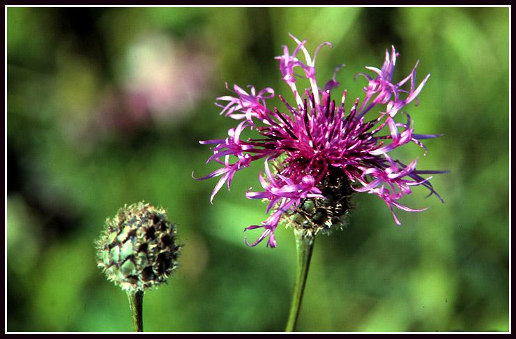 Wiesenflockenblume