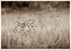 Wiesengras