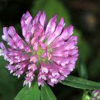 Wiesenklee, Blütenstand, Trifolium pratense