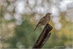 wiesenpieper (anthus pratensis) ....
