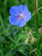 Wiesenstorchenschnabel (Geranium pratense)