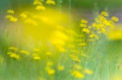 Wiesensymphonie in gelb