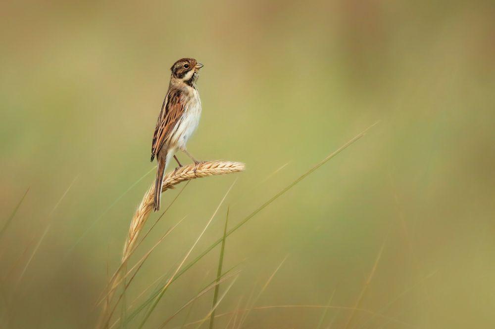 Wiesenvögelchen