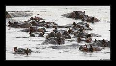 Wieviele Hippos sind auf dem Meeting??