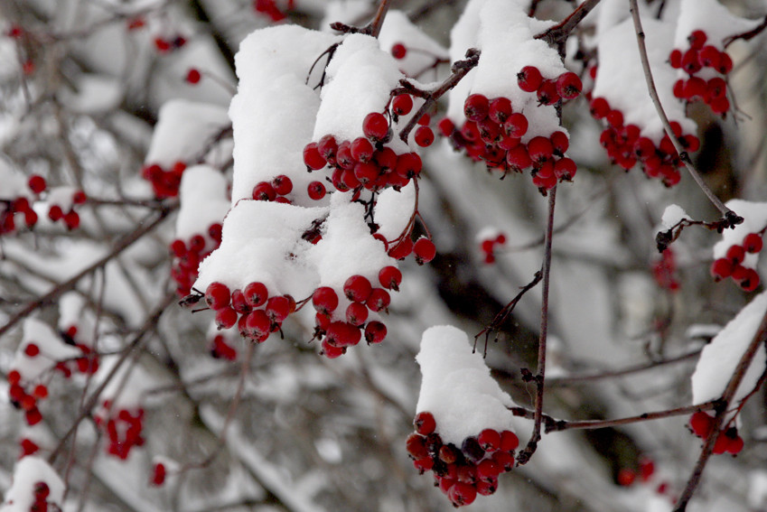 Wild ash into snow