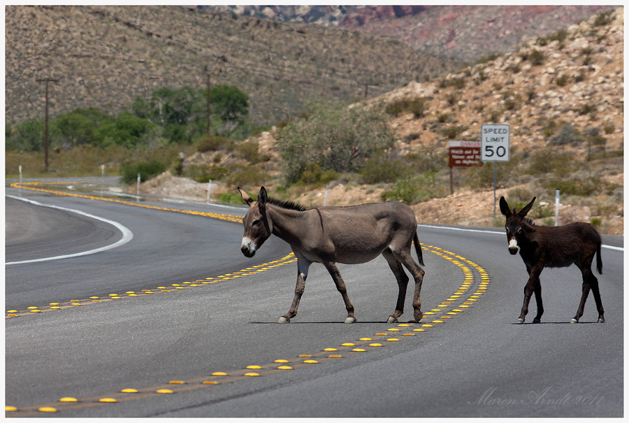 Wild Burros on Highway