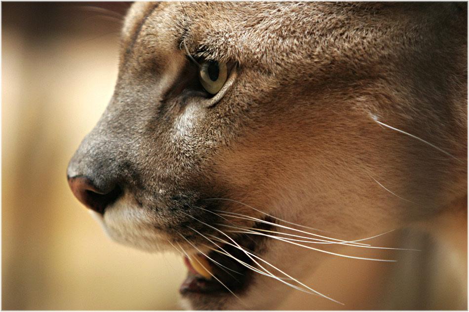 ...Wild Cat...
