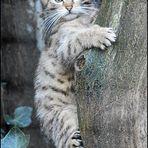 * Wild Cat *