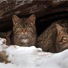 WILD-CATS