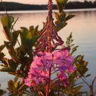 Wild Fireweed Plant