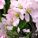 Wild Fruit Flowers