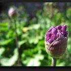 Wild garlic bud