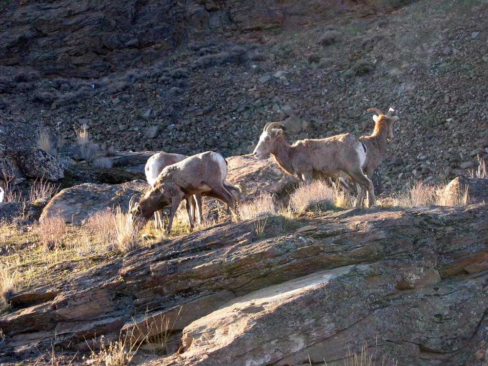 Wild Longhorn Sheep