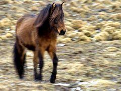 Wild Pferd