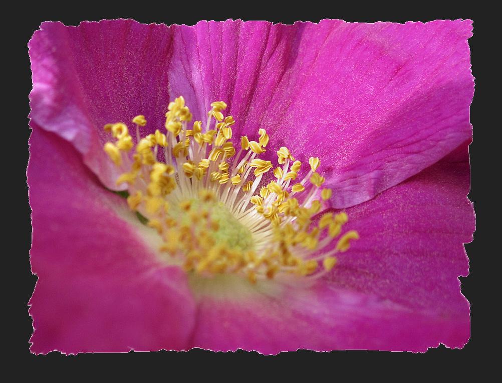 Wild rose blooming