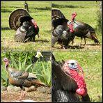 wild Turkey.............