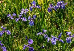 Wild wachsende Lilien          DSC_2502