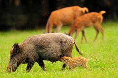 Wildbegegnung von Schwarz- und Rotwild - 2 Tiermütter mit ihrem Nachwuchs