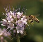 Wildbienchen besucht Wildpflanze