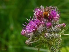 Wildbiene an Distel