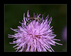 Wildbiene an Distelblüte