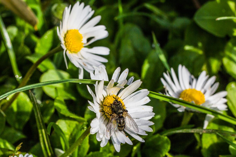 Wildbiene an Gänseblümchen