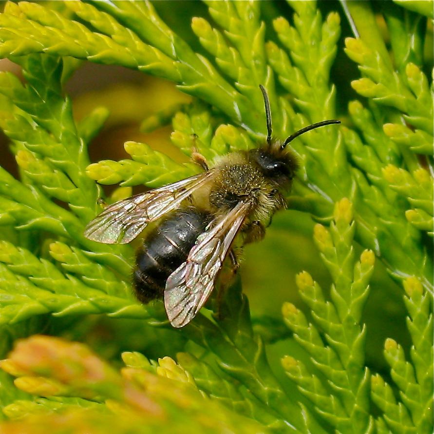 Wildbiene - Andrena bicolor?