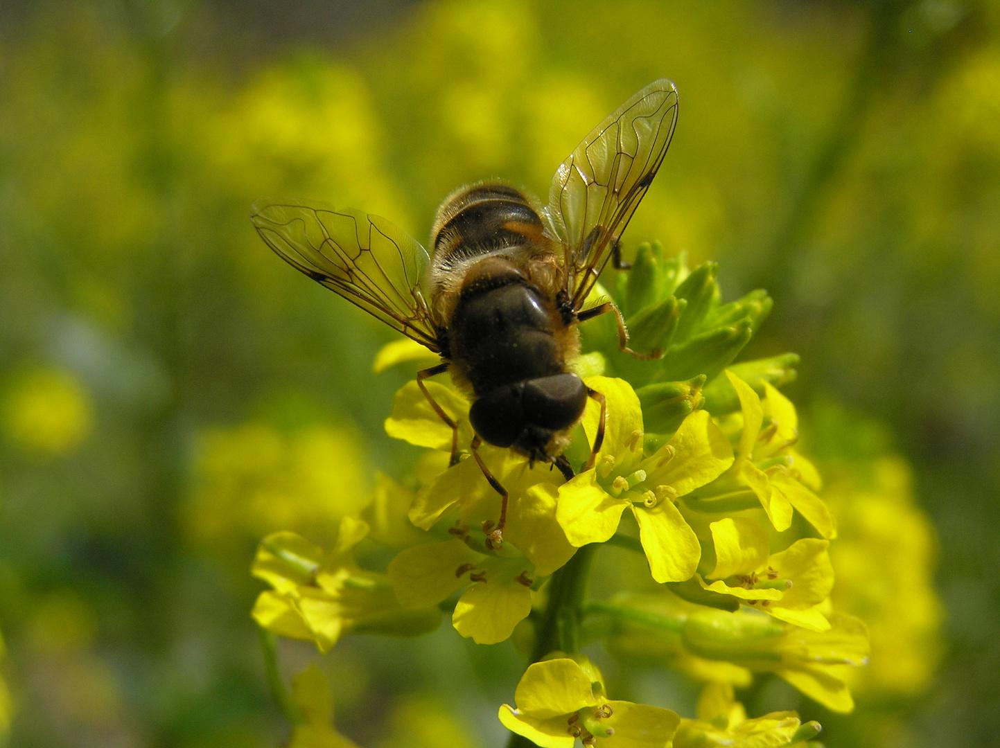 Wildbiene auf Nektarsuche