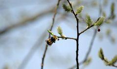 Wildbiene und Weide