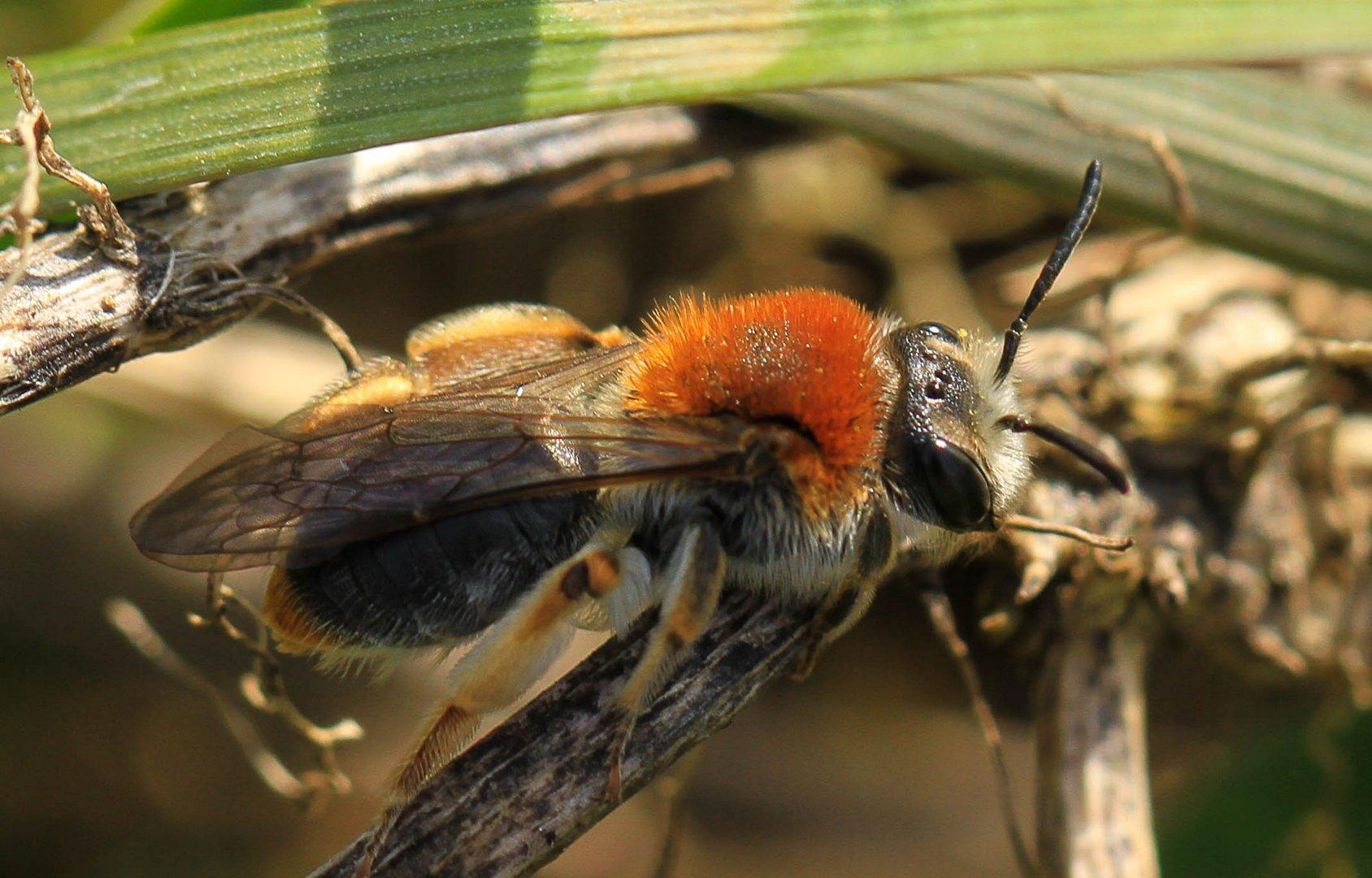 Wildbiene1