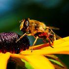 Wildbienen im Sonnenauge 2