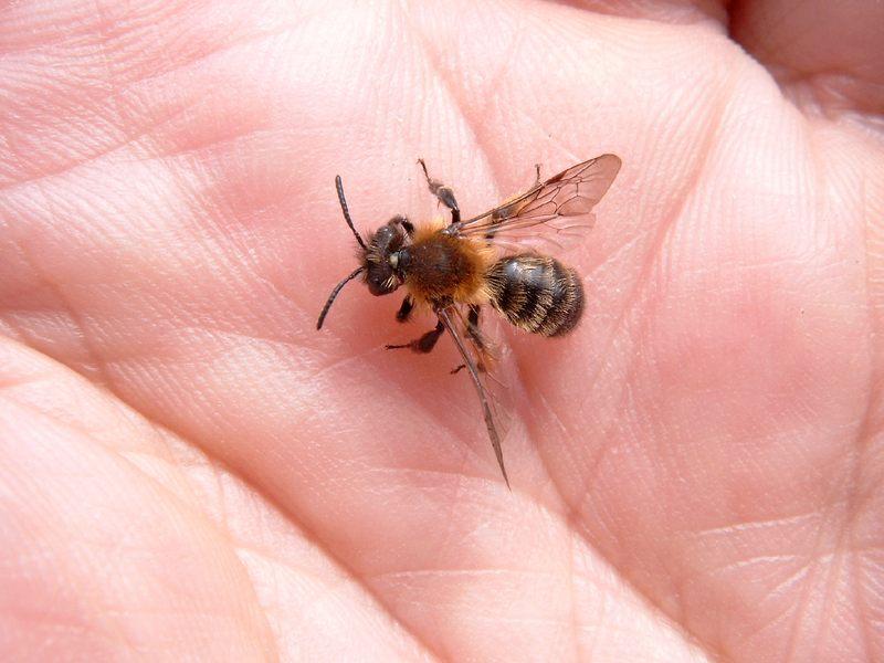 Wildbienen in unserer Hand