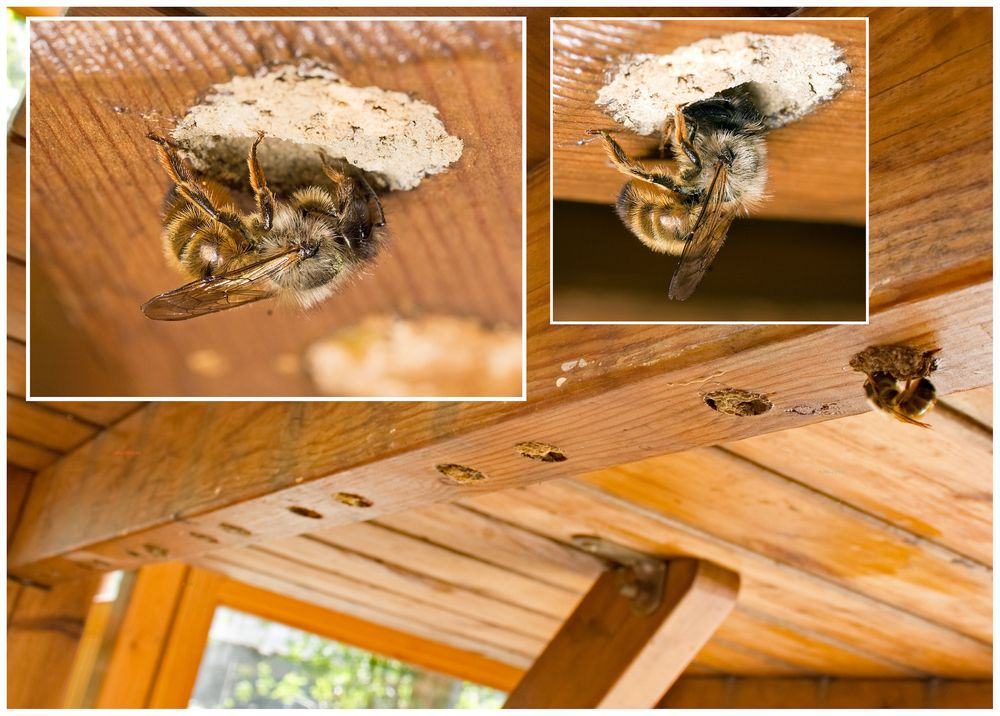 wildbienen unter dem tisch foto bild natur nahaufnahme insekt bilder auf fotocommunity. Black Bedroom Furniture Sets. Home Design Ideas
