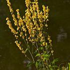 Wildblumen am See