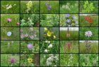 Wildblumen im Kaiserstuhl
