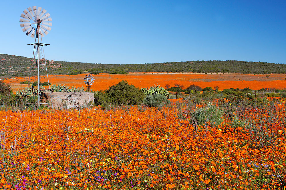 Wildblumen im Namaqualand