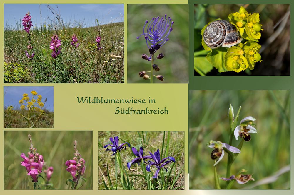 Wildblumen - WIESE