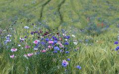 Wildblumenfeld 2