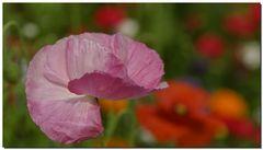 Wildblumenwiese....