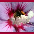 ... wilde Biene auf Hibiskus
