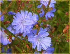 Wilde Blumen in Dänemark